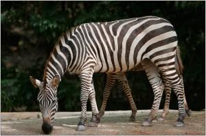 две зебри